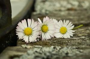 daisy-1307330_1920