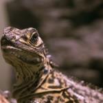 ギョロ目の爬虫類