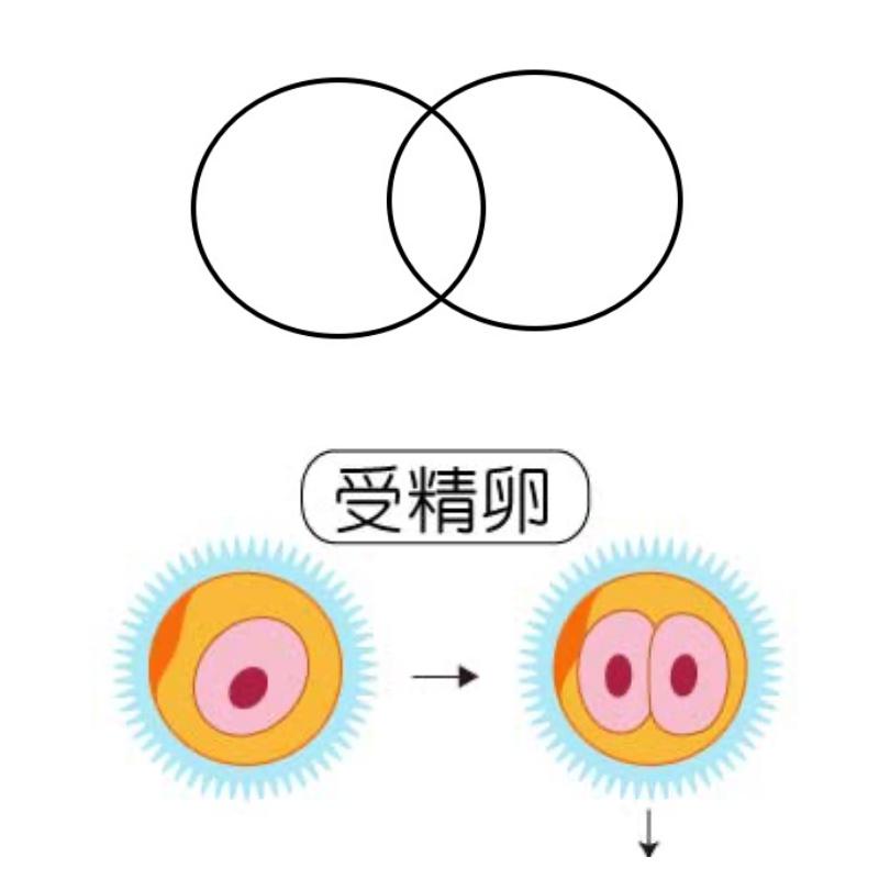 受精卵と丸図形の比較