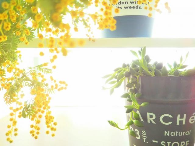ミモザと観葉植物