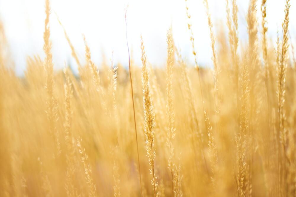 黄金に輝く麦畑